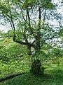 Alnus serrulata arboretum Breuil 2.jpg