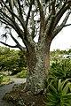 Aloe barberae in Auckland Botanic Gardens.jpg
