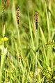 Alopecurus.geniculatus.2.jpg