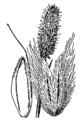 Alopecurus alpinus drawing 2.png