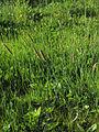 Alopecurus geniculatus Oulu, Finland 08.06.2013.jpg