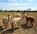 Alpaca in The Rodings, Essex, England 09.jpg
