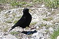 Alpine chough - Pyrrhocorax graculus (14485087301).jpg