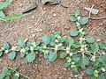 Alternanthera pungens-foothill-2-yercaud-salem-India.JPG