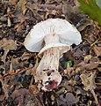 Amanita aspera lactella (40116918722).jpg