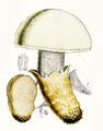 Amanita ovoidea Bull.png