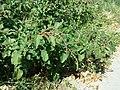 Amaranthus viridis sl2.jpg