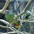Amazona brasiliensis -zoo-8a-4c.jpg