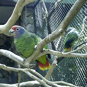 Red-tailed amazon - In captivity