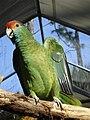 Amazona rhodocorytha -RSCF-4b.jpg