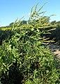 Ambrosia trifida kz04.jpg
