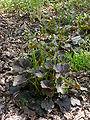 American Alumroot Heuchera americana 'Garnet' Plant 2448px.JPG