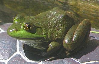 American bullfrog - American bullfrog