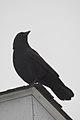 American Crow (Corvus brachyrhynchos) - Thunder Bay, Ontario 01.jpg