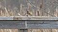 American Goldfinch (Spinus tristis) - Cambridge, Ontario.jpg