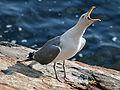 American Herring Gull (Larus smithsonianus) RWD2.jpg