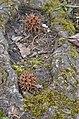 American Sweetgum Liquidambar styraciflua Seed Cones 2.JPG