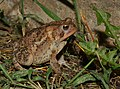 American toad (43608858874).jpg