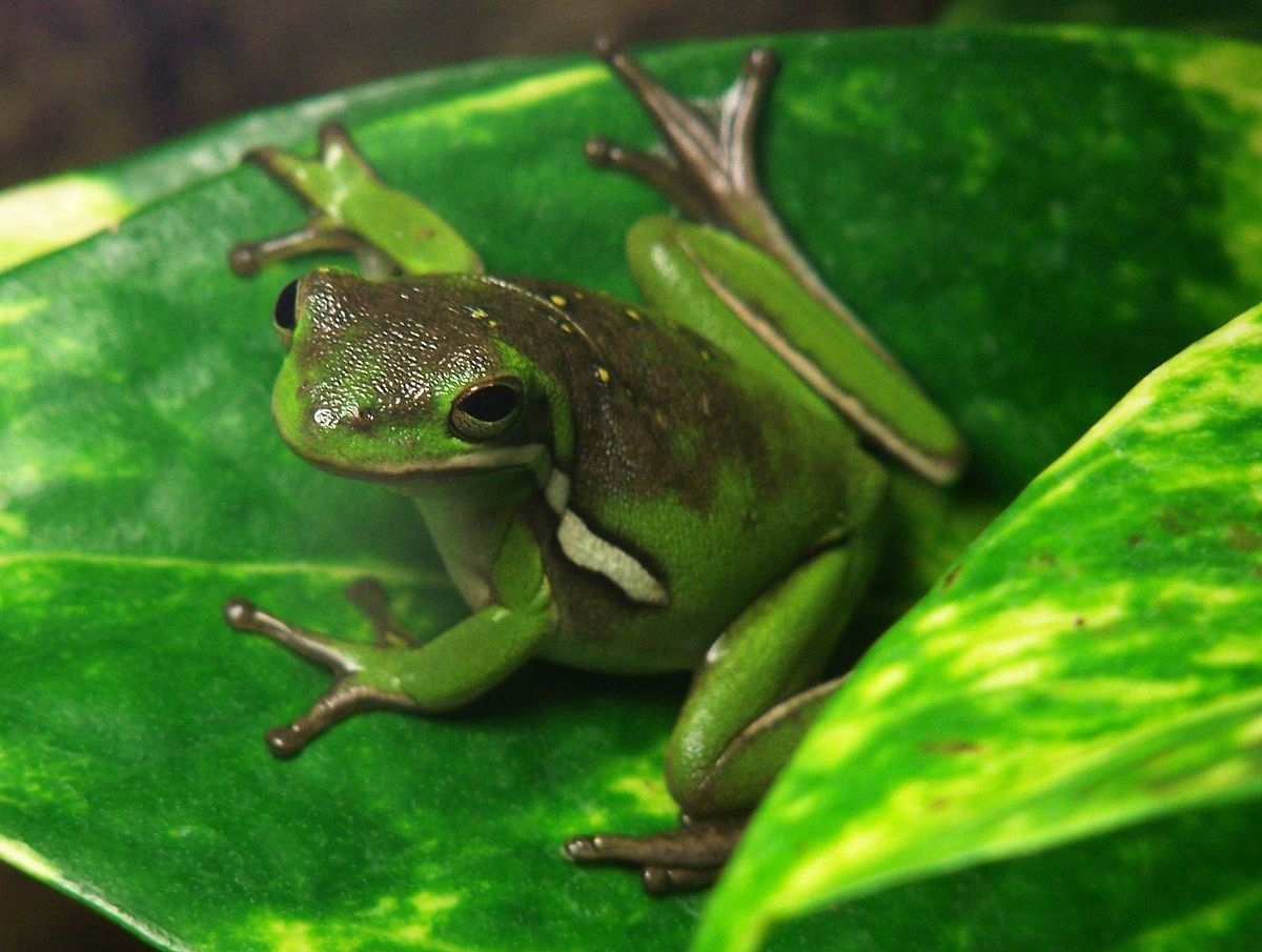 White Tree Frog Pets At Home