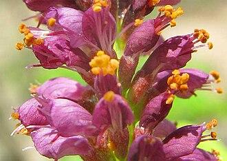 Amorpha - Flowers of Amorpha fruticosa