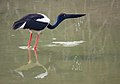 An adult female Black-necked Stork drinking water in an irrigation canal in Uttar Pradesh.JPG