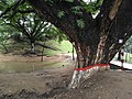 An old tree at CRB area, Chittagong 2.jpg