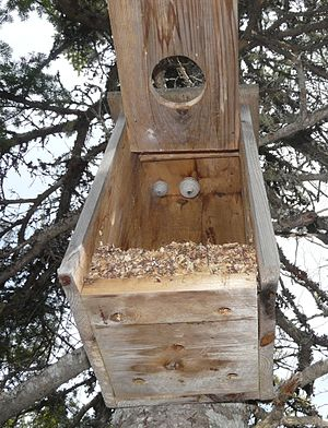 Nest box - Two wasp nests inside a nest box set for boreal owls.