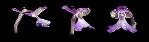 Anacamptis morio -  Flower