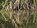 Anas sparsa African Black Duck IMG 9734.jpg