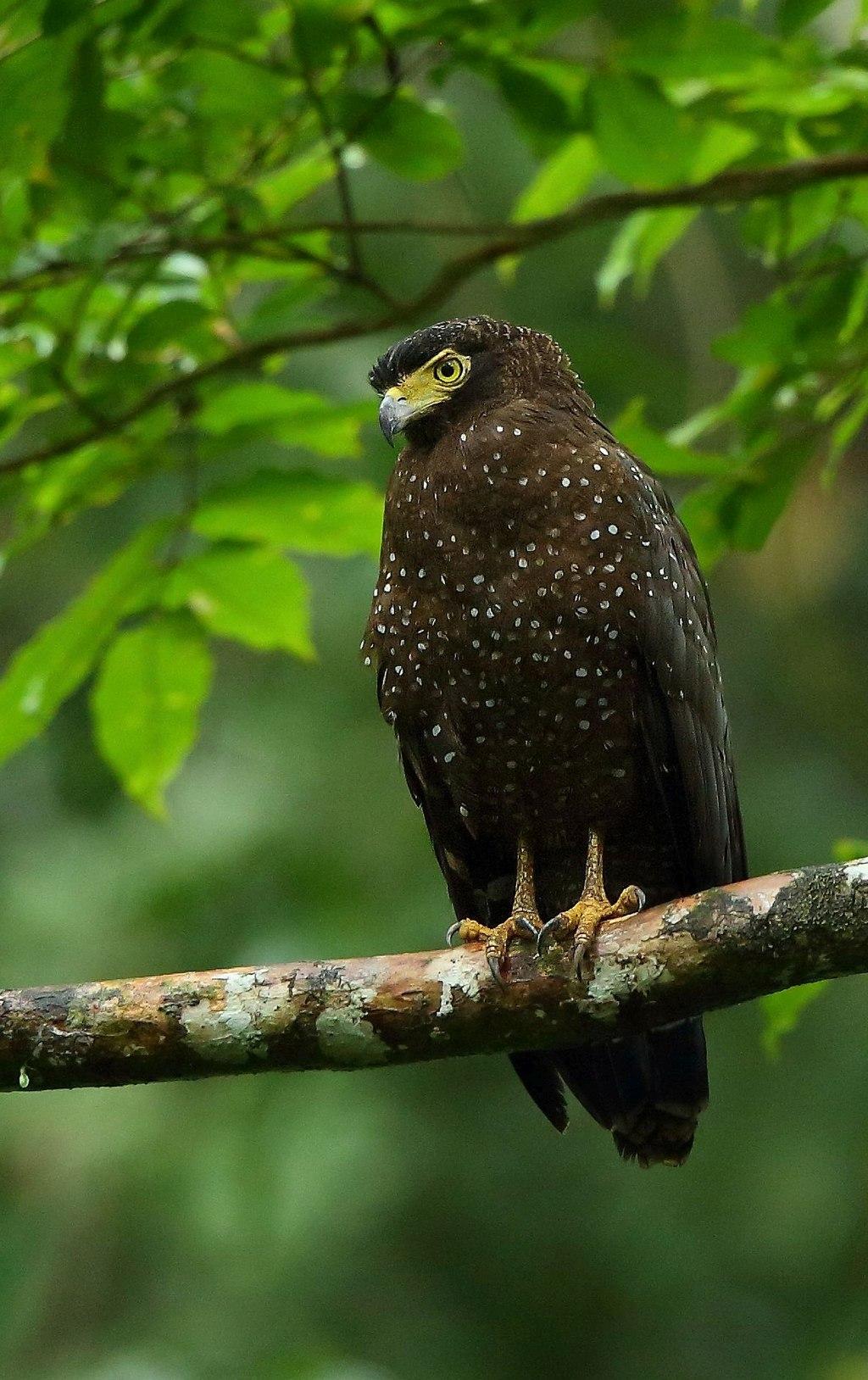 Andaman Serpent Eagle Albin 1