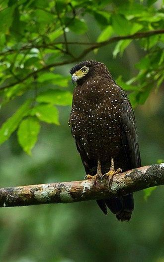 Andaman serpent eagle - Image: Andaman Serpent Eagle Albin 1
