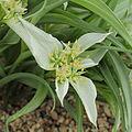 Androcymbium melanthioides-IMG 6048.jpg