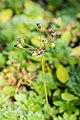 Androsace sarmentosa in La Jaysinia (6).jpg