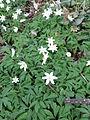 Anemone nemorosa (8710278216).jpg