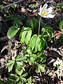Anemone nemorosa sl15.jpg