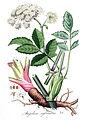 Angelica sylvestris — Flora Batava — Volume v4 clean.jpg