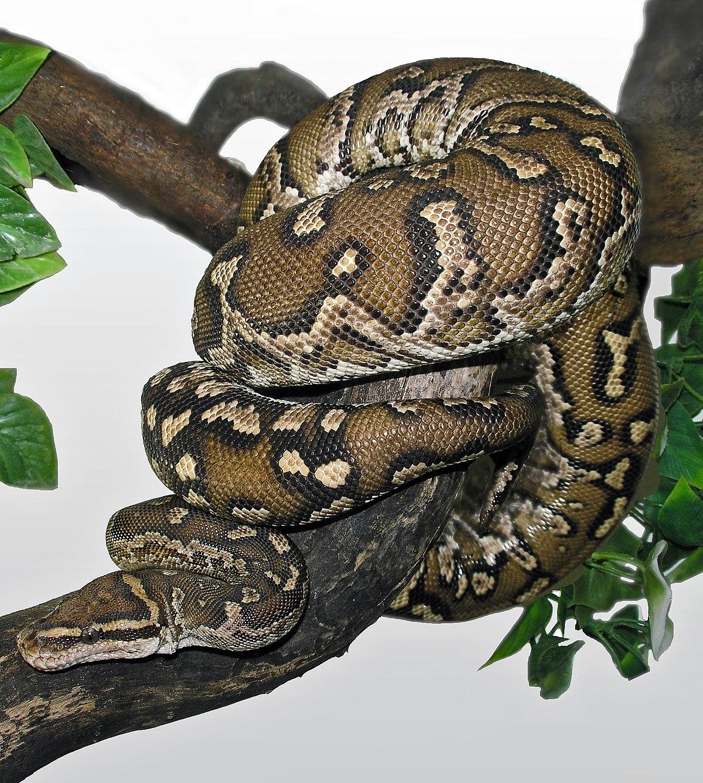 Angolan Dwarf Python (Python anchietae).jpg