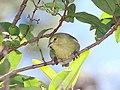 Anianiau (4-25-2018) Kokee State Park, Kauai co, Hawaii -02 (26859077757).jpg