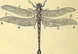 <i>Petalura gigantea</i> species of insect