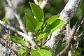 Annona glabra 14zz.jpg