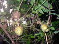 Annona reticulata fruits.JPG