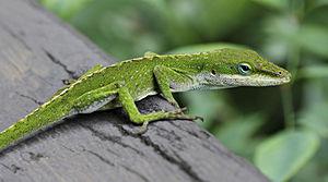 Green Anole Lizard (Anolis carolinensis) on ra...