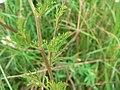 Anthemis cotula stem (01).jpg