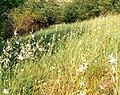 Anthericum ramosum.jpg