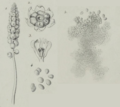 Antherospora vaillantii (illustration by C. Tulasne, 1847).png