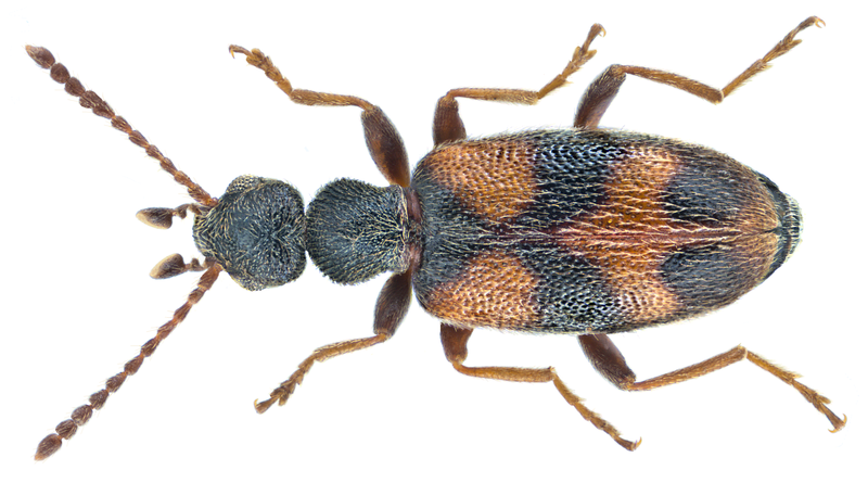 File:Anthicus antherinus (Linné, 1761) (18839347241).png