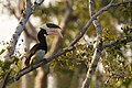 Anthracoceros coronatus -Wilpattu National Park, Sri Lanka-8 (1).jpg