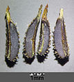Anthriscus caucalis sl11.jpg