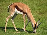 Antidorcas-marsupialis-springbok-grazing.jpg