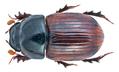 Aphodius fimetarius (Linné, 1758) male (20027474374).png